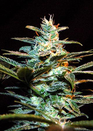 ice-cool-hohlandseeds-7