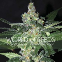Amnesia (World of Seeds)
