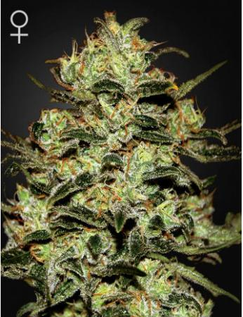 moby-dick-hohlandseeds-7