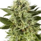northen-lights-hohlandseeds-5